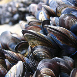 detetive de bivalves